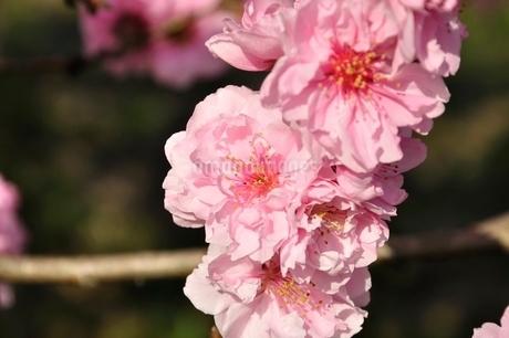 モモの花の写真素材 [FYI02915136]