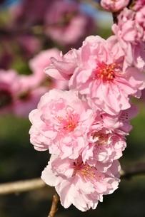 モモの花の写真素材 [FYI02915137]