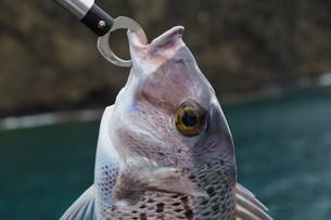 母島の東港で釣れたシロダイの写真素材 [FYI02915770]