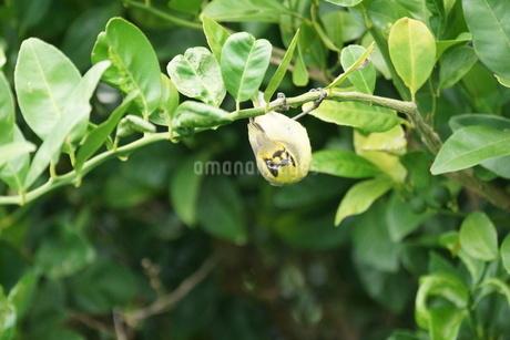かわいい~ハハジマメグロの写真素材 [FYI02916512]