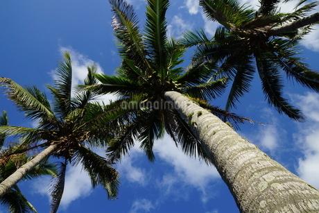 母島のヤシの木の写真素材 [FYI02916846]