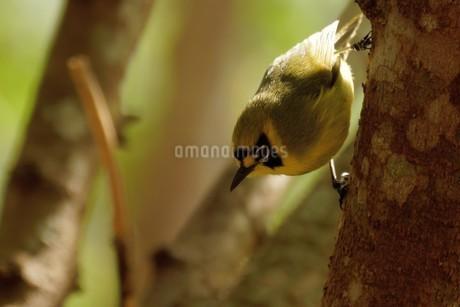 特別天然記念物~ハハジマメグロの写真素材 [FYI02917118]