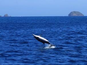 イルカの背面ジャンプの写真素材 [FYI02917125]