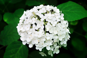 白い紫陽花のクローズアップの写真素材 [FYI02917286]