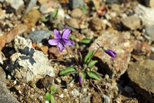 すみれの花の写真素材 [FYI02917320]