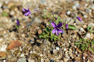 すみれの花の写真素材 [FYI02917321]