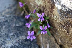 すみれの花の写真素材 [FYI02917322]