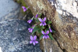 すみれの花の写真素材 [FYI02917323]