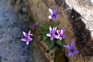 すみれの花の写真素材 [FYI02917324]