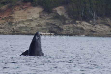 母島のザトウクジラの写真素材 [FYI02917325]