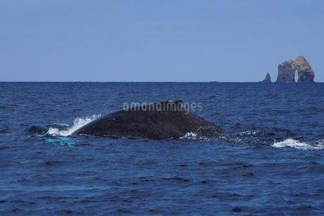 母島のザトウクジラの写真素材 [FYI02917326]