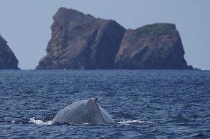 母島のザトウクジラの写真素材 [FYI02917327]