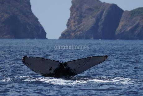 母島のザトウクジラの写真素材 [FYI02917328]