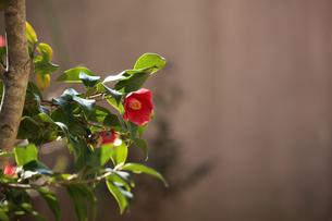 椿の花の写真素材 [FYI02917329]