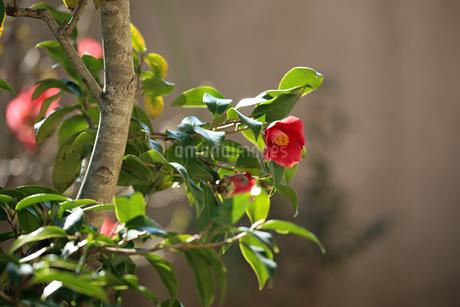椿の花の写真素材 [FYI02917330]