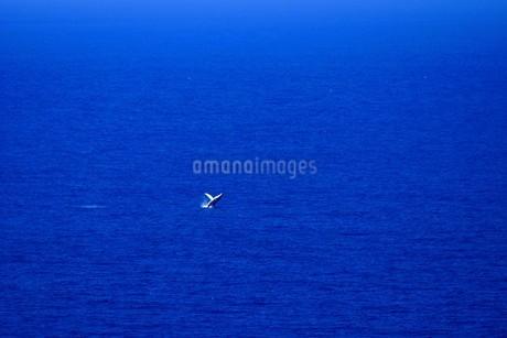 母島のザトウクジラの写真素材 [FYI02917376]