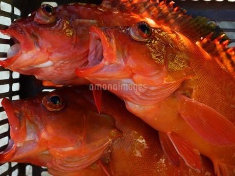 母島で釣れたアカハタの写真素材 [FYI02917377]