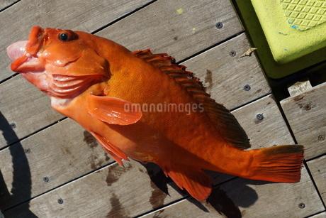 母島で釣れたアカハタの写真素材 [FYI02917379]
