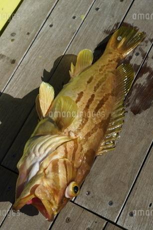 母島で釣れたホウキハタの写真素材 [FYI02917381]