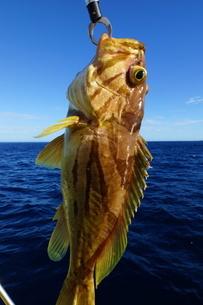 母島で釣れたホウキハタの写真素材 [FYI02917382]