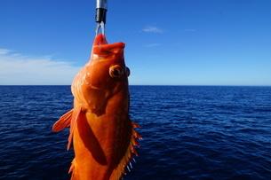 母島で釣れたアカハタの写真素材 [FYI02917385]