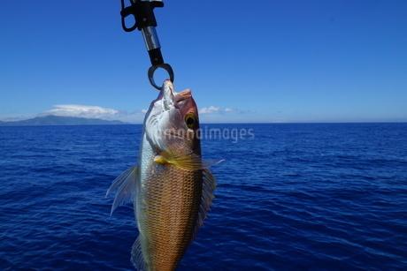 母島で釣れたヒメダイの写真素材 [FYI02917398]