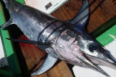 母島で釣れたメカジキの写真素材 [FYI02917403]