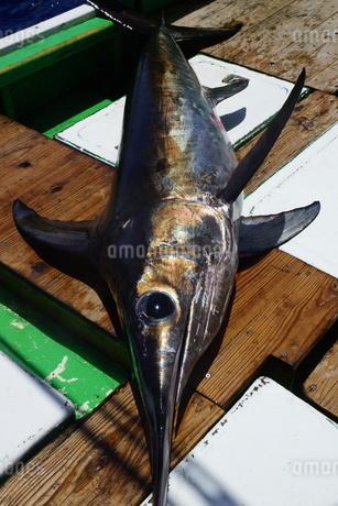 母島で釣れたメカジキの写真素材 [FYI02917404]