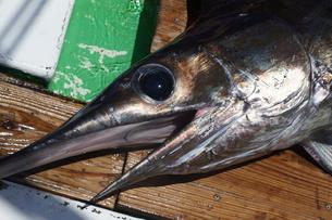 母島で釣れたメカジキの写真素材 [FYI02917408]
