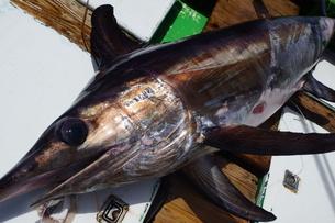 母島で釣れたメカジキの写真素材 [FYI02917409]