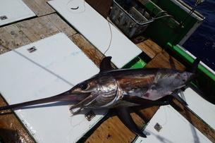 母島で釣れたメカジキの写真素材 [FYI02917410]