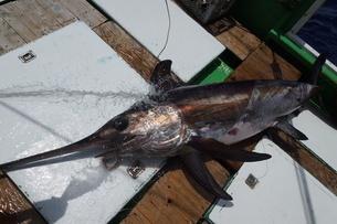 母島で釣れたメカジキの写真素材 [FYI02917411]