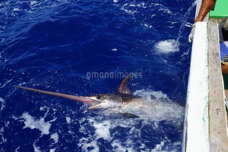 母島で釣れたメカジキの写真素材 [FYI02917412]