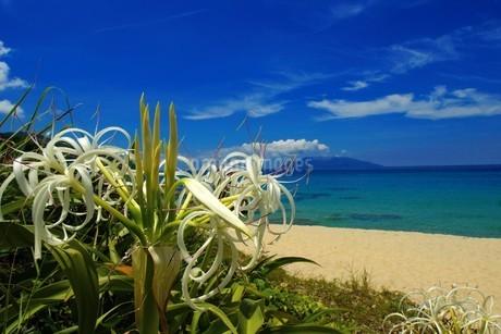 屋久島の永田いなか浜に咲くハマユウの写真素材 [FYI02917416]