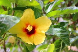 ハワイの花 黄色いハイビスカスの写真素材 [FYI02917440]