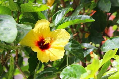 ハワイの花 黄色いハイビスカスの写真素材 [FYI02917441]