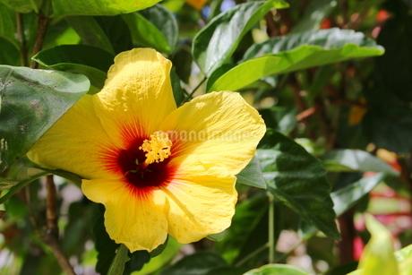 ハワイの花 黄色いハイビスカスの写真素材 [FYI02917442]