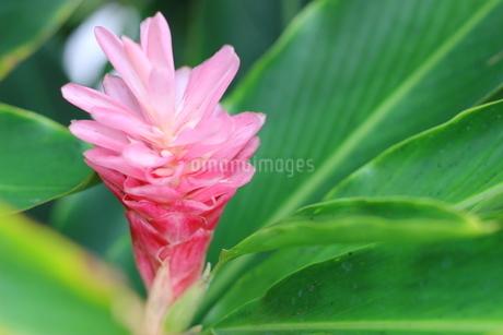 ハワイの花 ピンク色のジンジャーの写真素材 [FYI02917443]