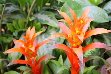 ハワイの花 オレンジ色のジンジャーの写真素材 [FYI02917444]