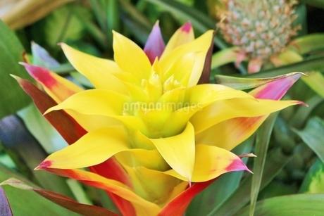 ハワイの花 黄色のジンジャーの写真素材 [FYI02917446]