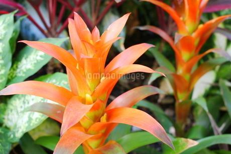 ハワイの花 オレンジ色のジンジャーの写真素材 [FYI02917447]