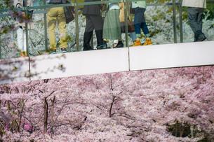 桜に包まれた橋と人々の足の写真素材 [FYI02917460]