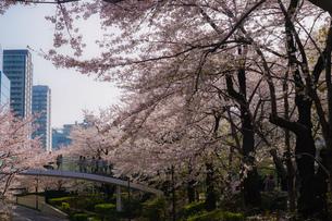 桜に包まれた橋に立つ人々の写真素材 [FYI02917479]
