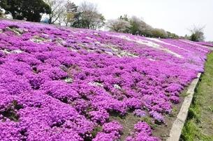 芝桜と桜の写真素材 [FYI02919513]
