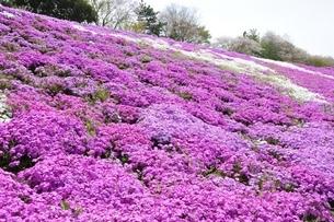 芝桜と桜の写真素材 [FYI02919514]