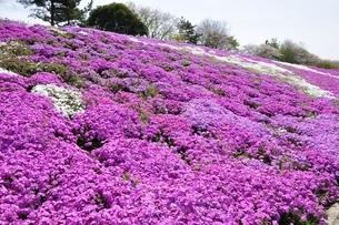 芝桜と桜の写真素材 [FYI02919515]