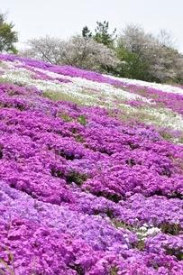 芝桜と桜の写真素材 [FYI02919516]