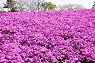 芝桜と桜の写真素材 [FYI02919518]