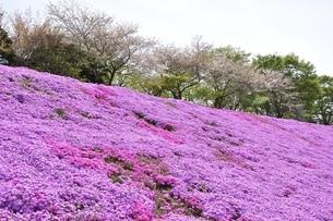 芝桜と桜の写真素材 [FYI02919519]