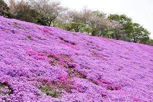 芝桜と桜の写真素材 [FYI02919520]